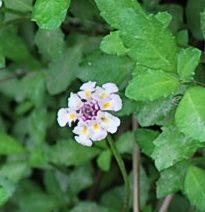 あちこち2垣根の花