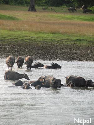川を歩く水牛