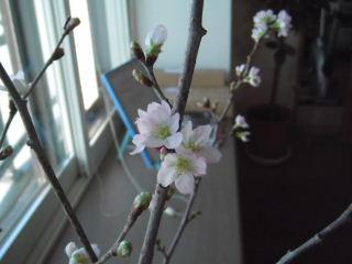2011_1231sakura0013b.jpg