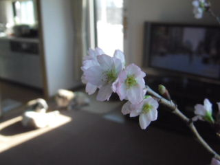 2011_1231sakura0019b.jpg