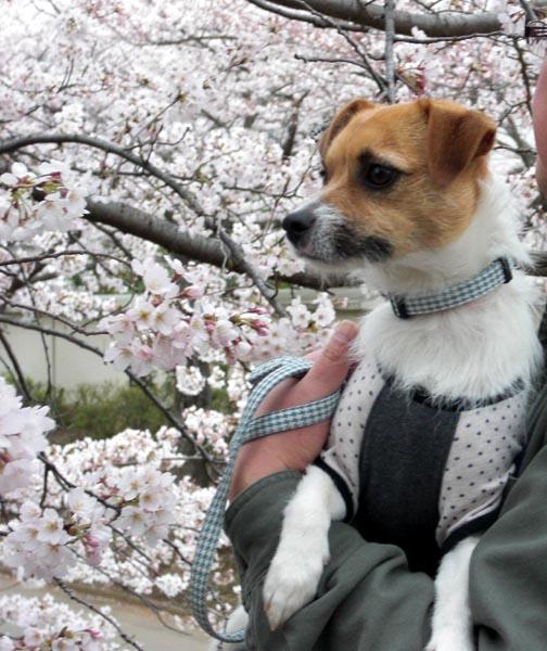 桜に囲まれて.