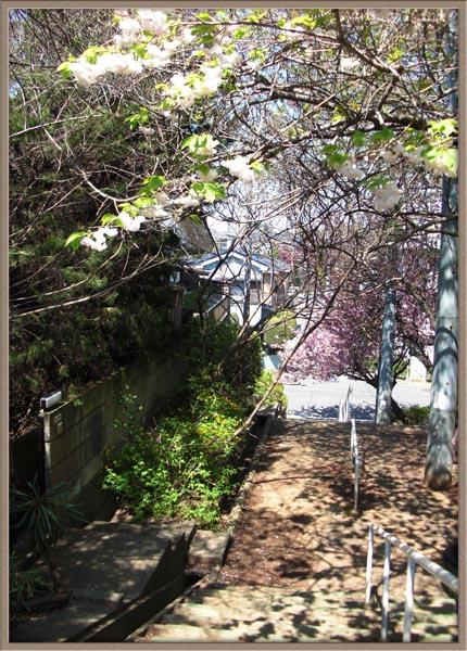 八重桜の路地.
