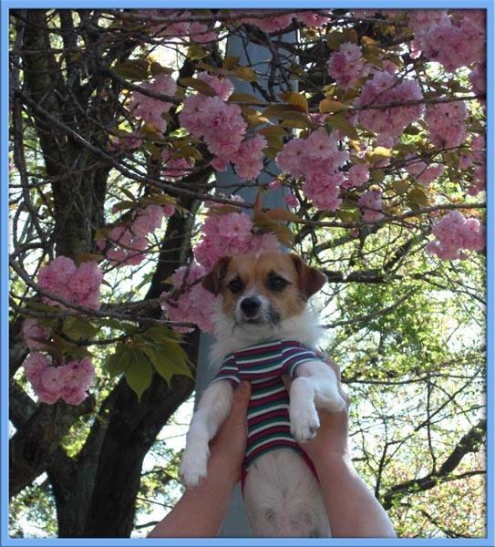 八重桜と共に