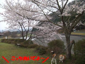 桜と姉弟1