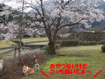 桜と姉弟2