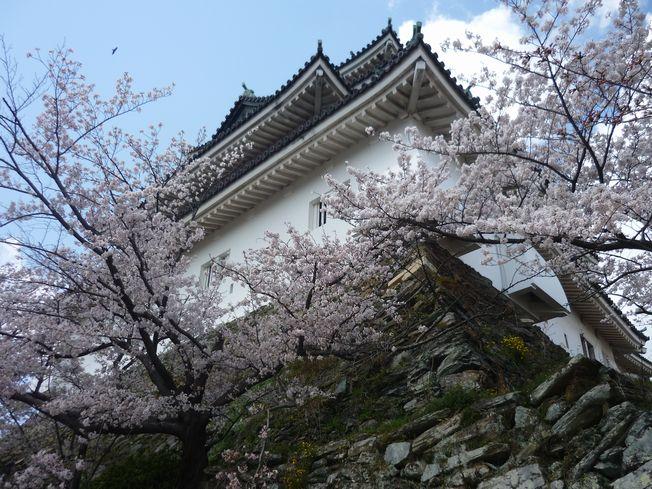 2012sirosakura7.jpg