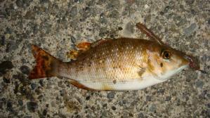 フエフキ幼魚