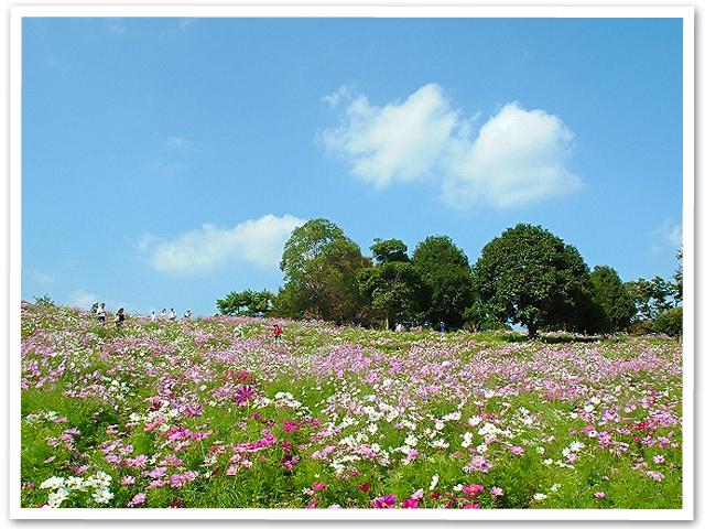 コスモス☆昭和記念公園