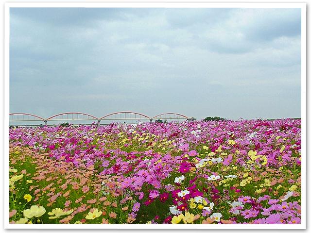 鴻巣市のコスモス畑