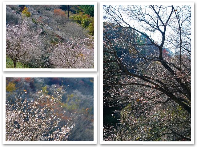 冬桜☆桜山公園