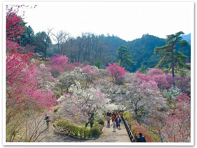 満開・梅の花