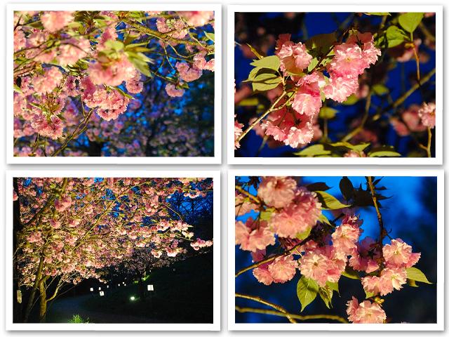 長瀞・通り抜けの桜