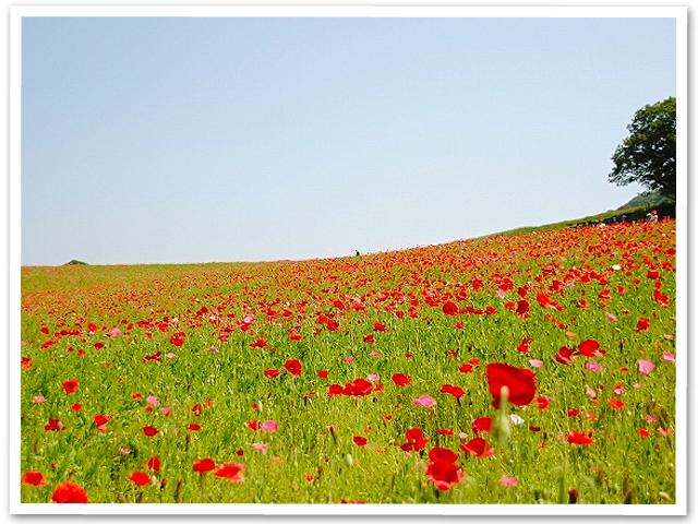 秩父高原牧場のポピー畑