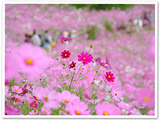 秋桜☆昭和記念公園「(花の丘)