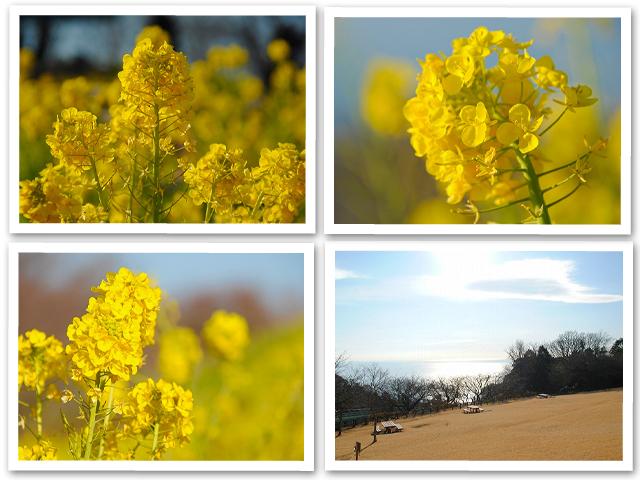 菜の花☆吾妻山公園