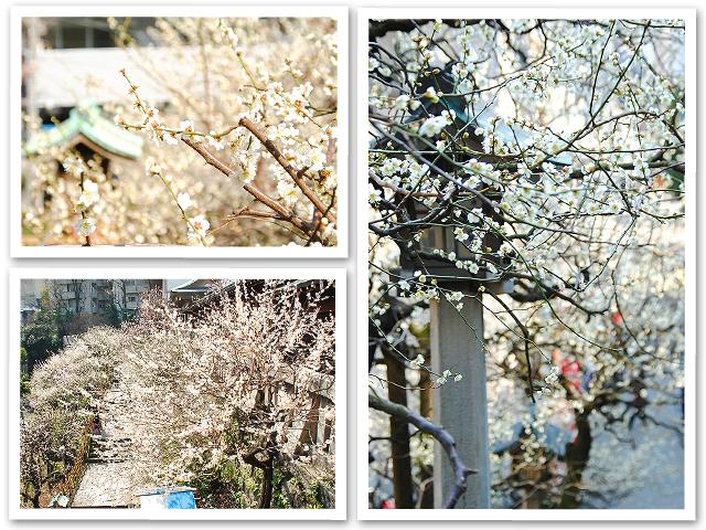 湯島天神の梅まつり
