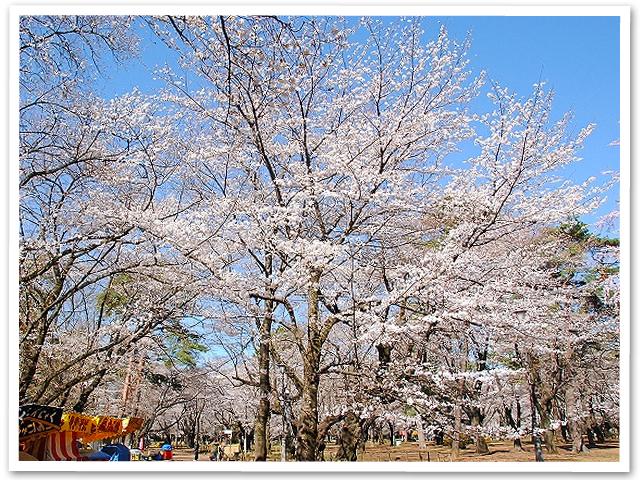 桜☆大宮公園
