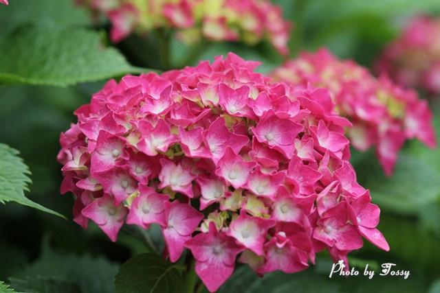 アジサイ 濃いピンク