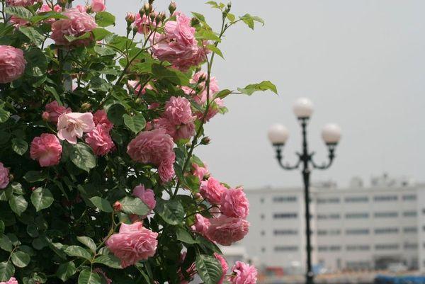 薔薇の光景-1