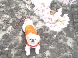 桜の木の下で(杏)