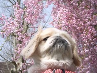 しだれ桜と杏