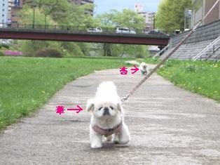 河原散歩(華杏)