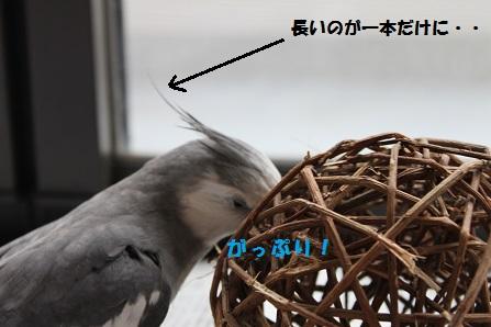 長い冠羽が一本にっ