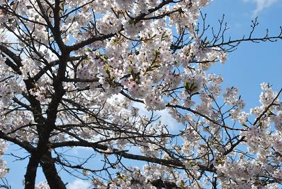 2010.4.10園庭の桜