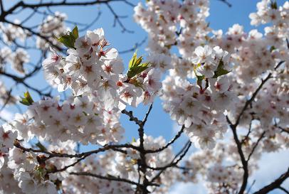 2010.4.10園庭の桜 (1)
