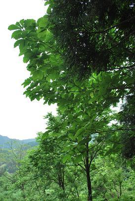 2010.6.13六里山梅採り 025