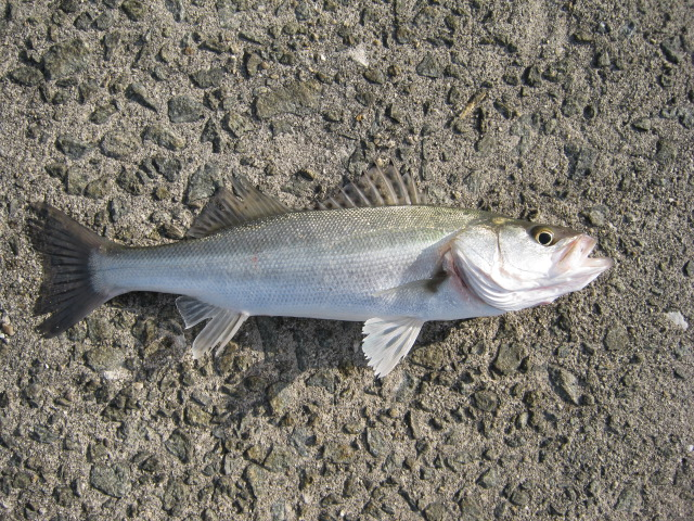 ステキな銀色のお魚♪