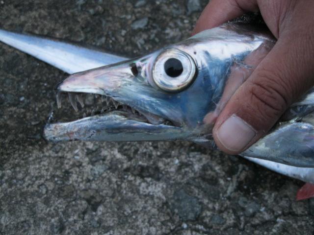 ハンチングさんが釣りはったタチウオ♪