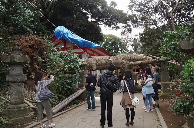 江ノ島倒木