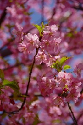 かわず桜2