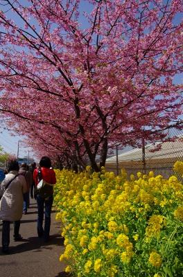 かわず桜3