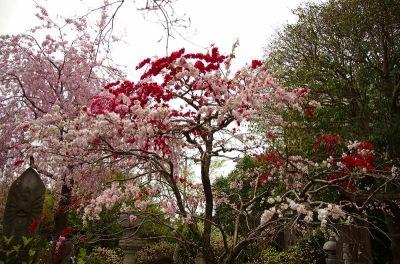 高座渋谷の花桃