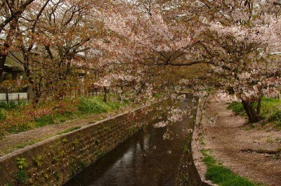 高座渋谷の桜