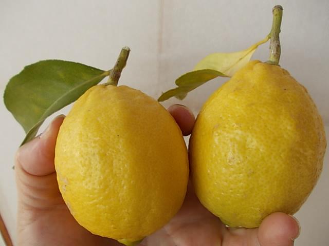 Lemon 20131207