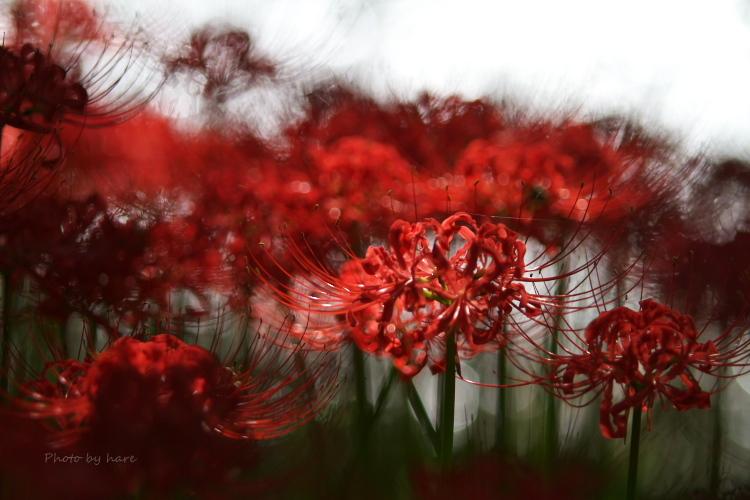妖艶 そんな言葉が似合う花だよね