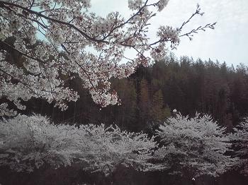 お花見2012