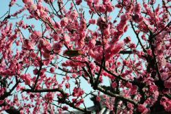 法華寺 庭の梅と鶯