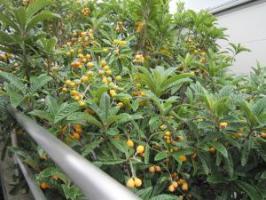庭の枇杷の実