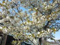 桜―春がやって来た―
