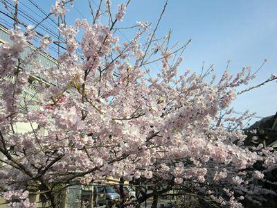 郡上八幡の桜