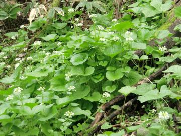 ワサビの花2