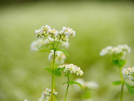 そばの花♪