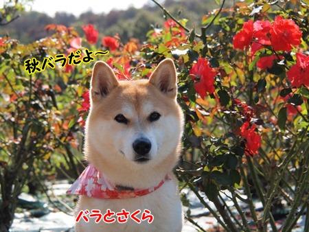 秋バラだよ