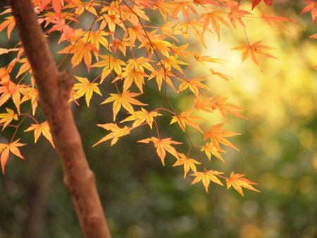 キイロの紅葉
