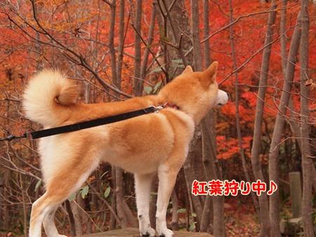 紅葉狩り中