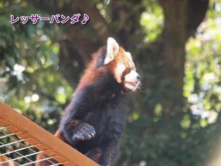 レッサーパンダ♪